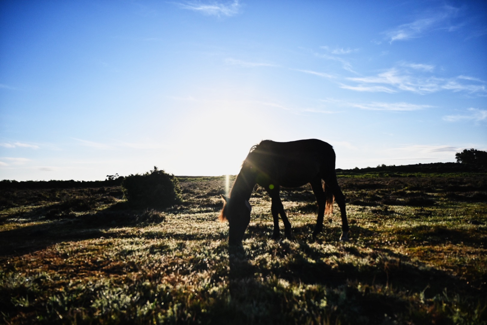 a horse in the new forest photographed grazing with the sun rising in the background